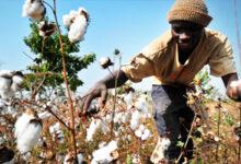 Photo of Coton culture : La filière en danger au Mali